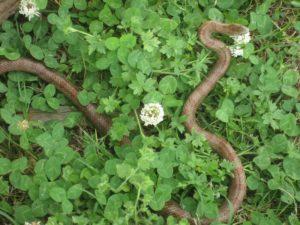 Snake in clover