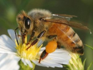 Image of a bee