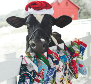 Holstein Cow with Santa Hat in front of color stockings