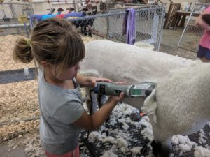 A young girl shearing her lamb in preparation for show.