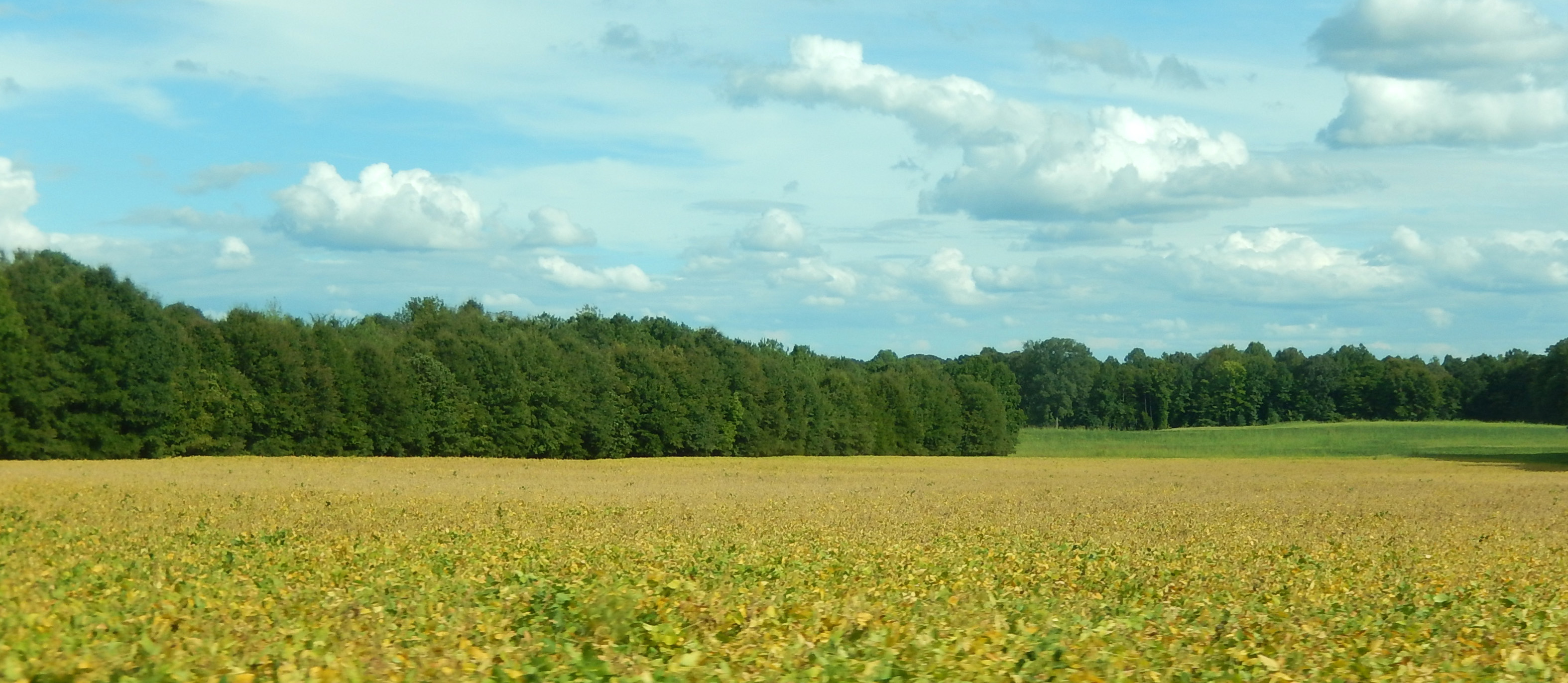 Soybean Field with Trees in the background