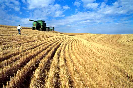 Wheat being combined in a field