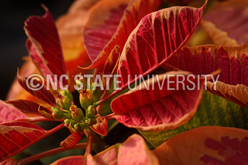 Poinsettia: Christmas Marble Beauty
