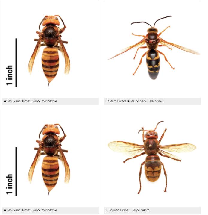 Comparison on different Hornets