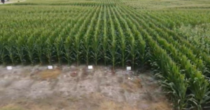 Cover photo for Corn Growth With Starter Fertilizer --  Video Update