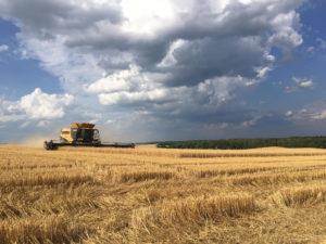 Combine harvesting wheat