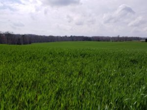 Cover photo for Video: Early Soil Fertility Management in Wheat