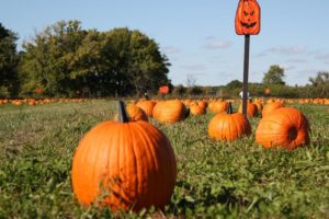 Pumpkins set out in a field